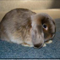 Кролики вислоухие